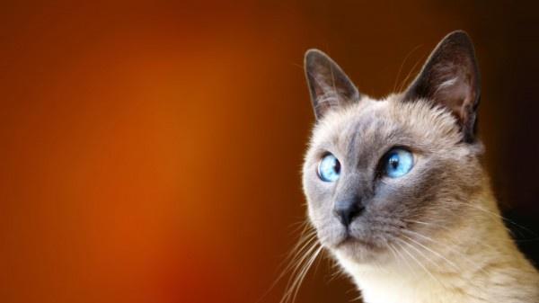 gatti, blu, occhi, animali, divertenti