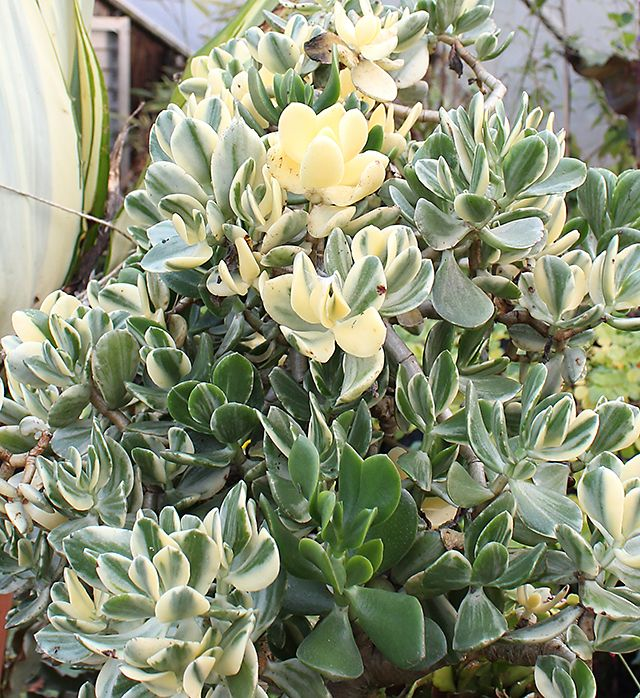 1000 images about succulents on pinterest hanging succulents cactus and plants - Indoor plant varieties ...