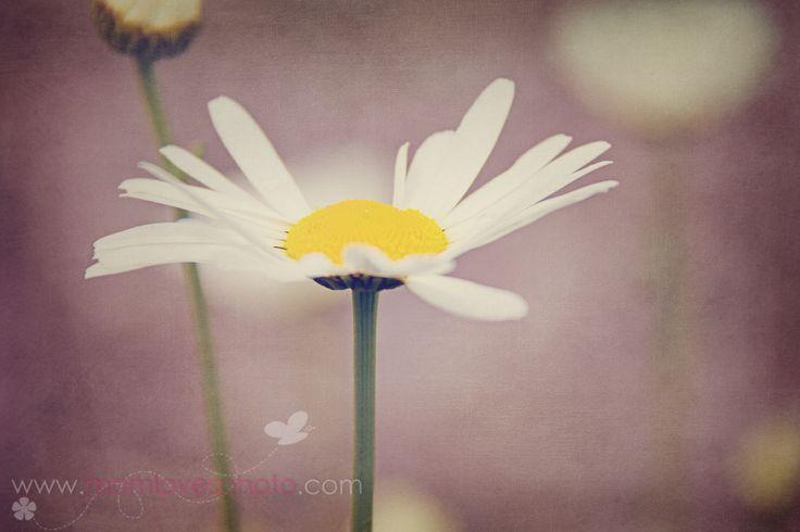White Daisy   IMG_7018
