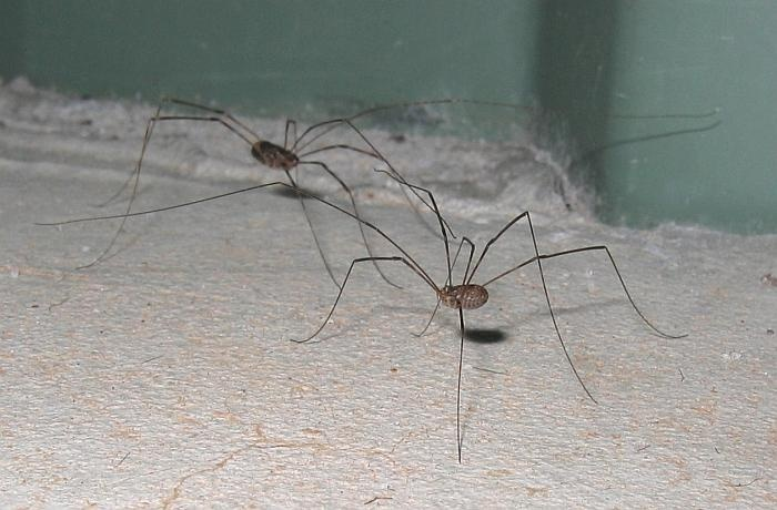 "grand daddy long legs ""most poisonous spider"" myth"