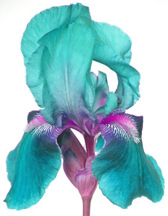 iris with turquoise   turquoise iris purple iris red daisy yellow daisy blue peony on white ...