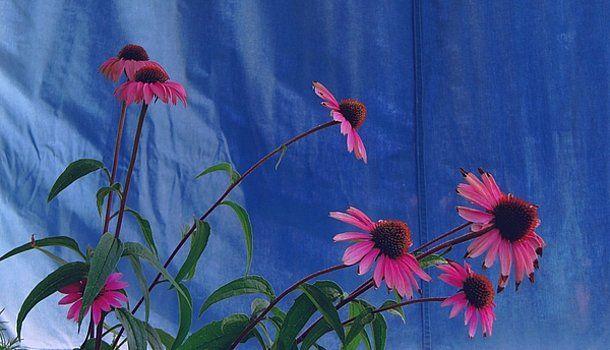 Echinacea Purpurea by Gianalbert Oliv