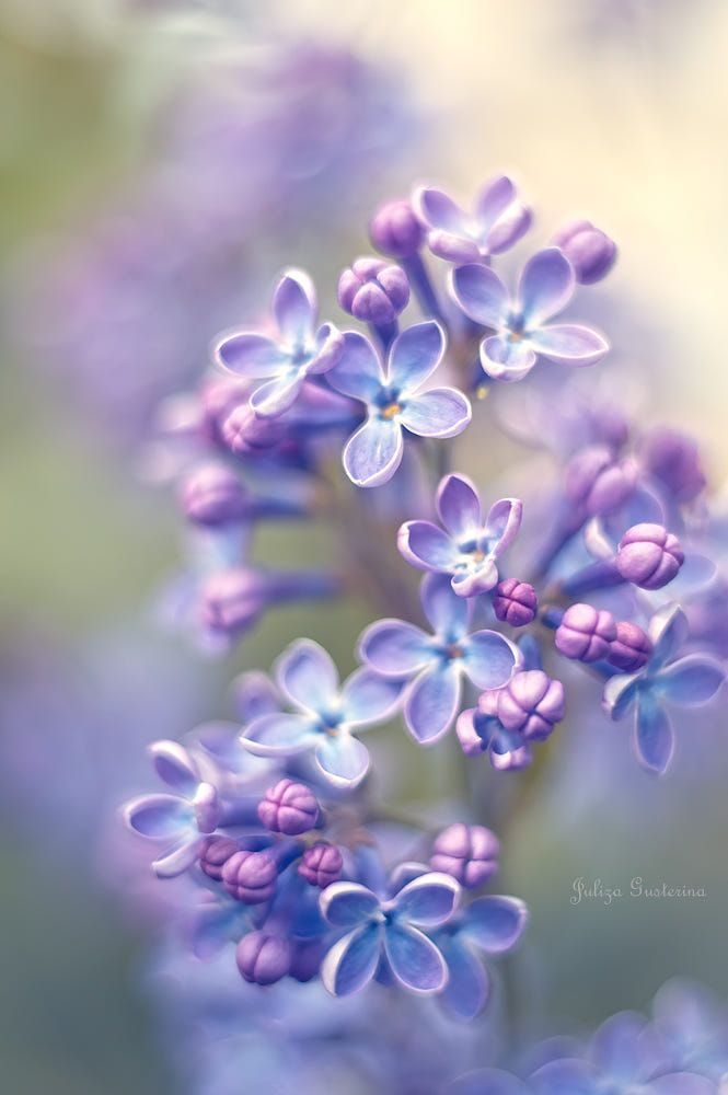 Lilac Symbolizes Youthful Innocence And Confidence White Lilac Symbolizes Humility And Innocence Field Lilac Lilac Flowers Purple Flowers Flowers Photography