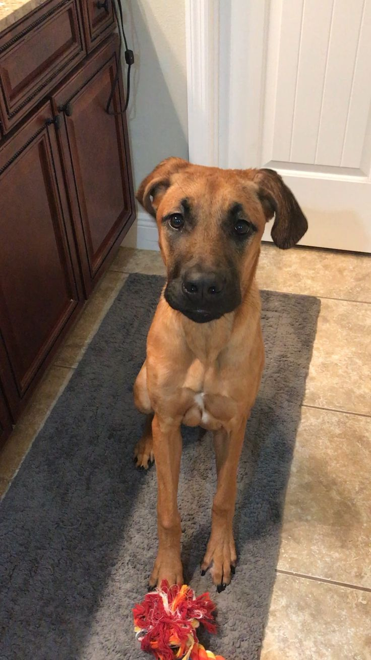 Regal Looking Ridgeback 8 1 2 Months Old Beautiful Dogs Dog Mixes Cute Dogs