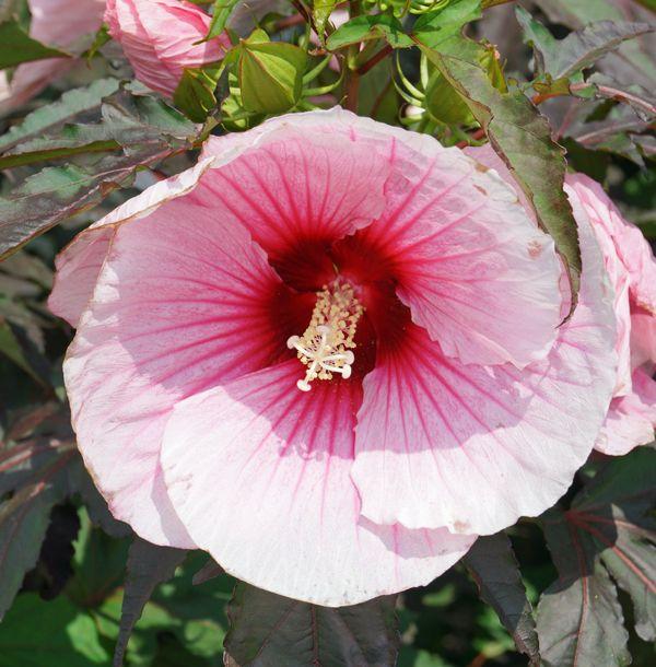 17 best images about flowers pink on pinterest pink. Black Bedroom Furniture Sets. Home Design Ideas