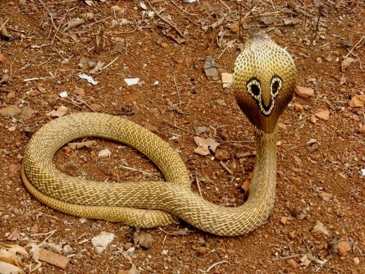 Indian Cobra (Naja naja) or Spectacled Cobra is a species of the genus Naja found in the Indian subcontinent and a member of the big four, the four species which inflict the most snakebites in India. This snake is revered in Indian mythology and culture, and is often seen with snake charmers. It is now protected in India under the Indian Wildlife Protection Act (1972).