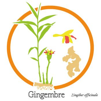 Dessin de la plante de Gingembre, racine et fleur - épice aphrodisiaque - uptimoi - Ginger plant drawing.