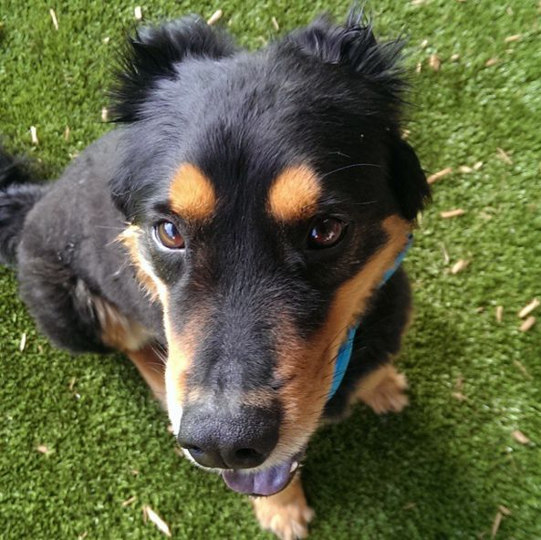 Irresistible puppy eyes at Lucas Garden Dog Park - St. Louis, MO - Angus Off-Leash #dogs #puppies #cutedogs #dogparks #angusoffleash