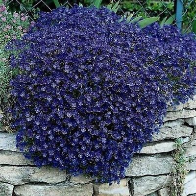 50+ Rockcress Cascading Blue Flower Seeds , Under The Sun Seeds
