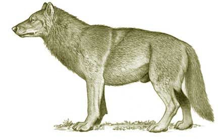 The Dire Wolf, The Largest Wolf To Have Ever Lived.