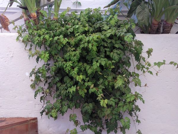 cissus rhombifolia - Bing images
