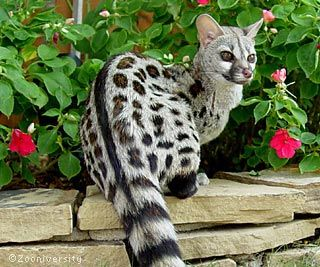 Large Spotted Genet - majestic!: Wild Animal, Cat, Africans Wildlife, Exotic Pet, South Africa, Amazing Animal, Spots Genetics, Beautiful Creatures, Large Spots