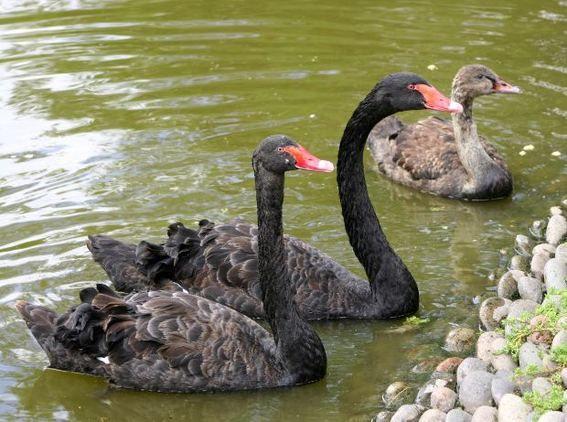 Zwarte zwaan, Black swan
