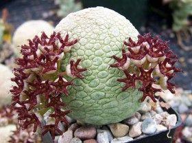 Kaktusy a sukulenty - zajímavé sukulenty - pseudolithos