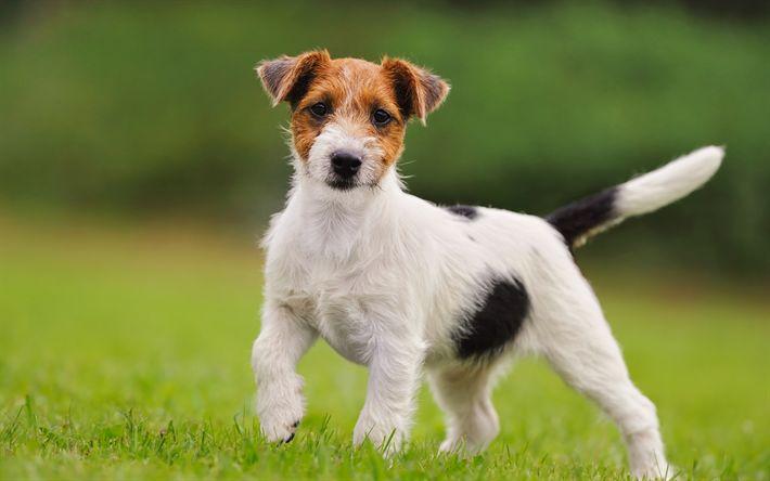 Lataa kuva Jack Russell Terrieri, pieni koira, söpöjä eläimiä, lemmikit, koirat, vihreä ruoho, metsästys rotu koiria