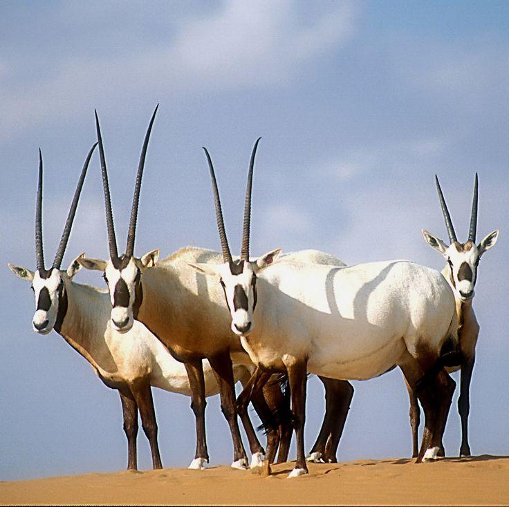 La renaissance de l'oryx d'Arabie - 16 juin 2011 - Sciences et Avenir