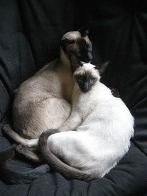 What are you looking at? Siamese beauties