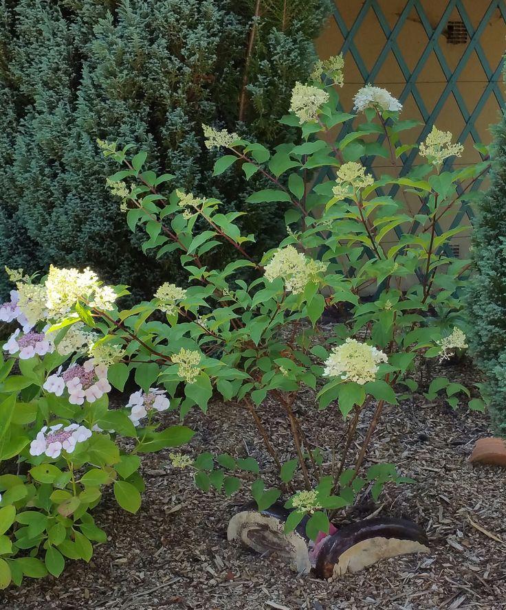 Hortensia- Hydrangea paniculata Vanille-Fraise. Promesse de fleurs. 24/07/2016