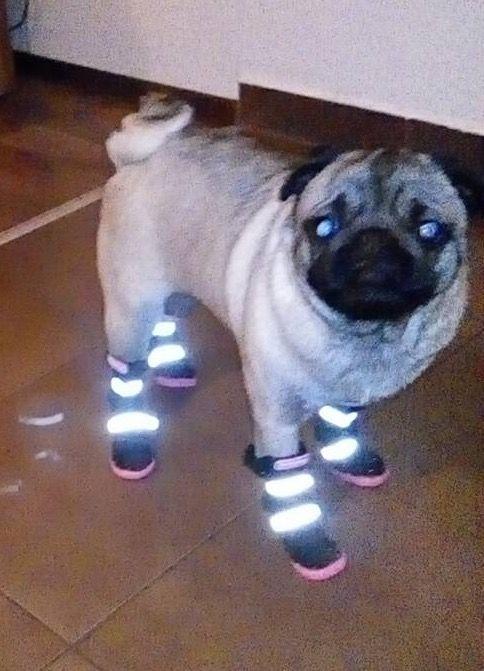 Mayo, dragalasa si pregatita de joaca in zapada cu Cizmulitele de la King Maru --> https://kingmaru.ro/  #hainecaini #accesoriicaini #imbracamintecaini #caine #caini #catel #catei #dog #dogs #kingmaru