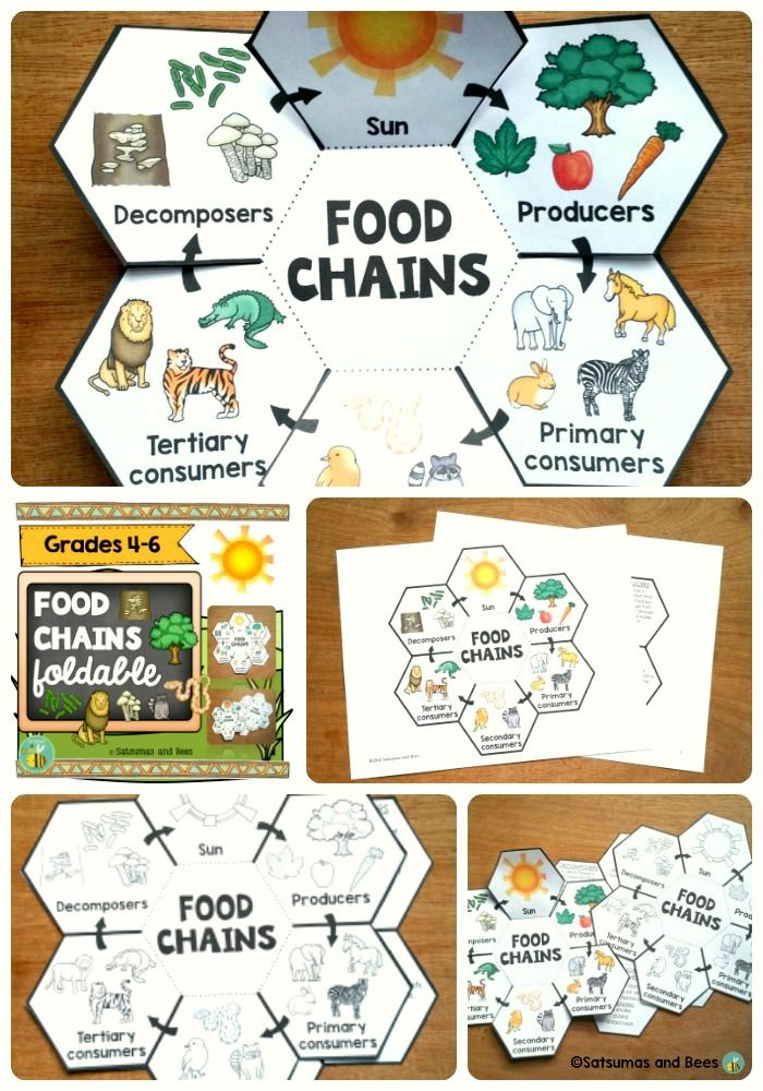 Food chainsInteractive Science Notebook foldable