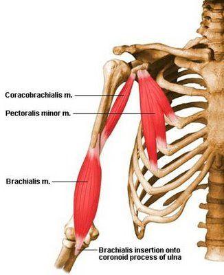 Exercise Anatomy for Students: Pectoralis Minor, Corocobrachialis, and Brachialis