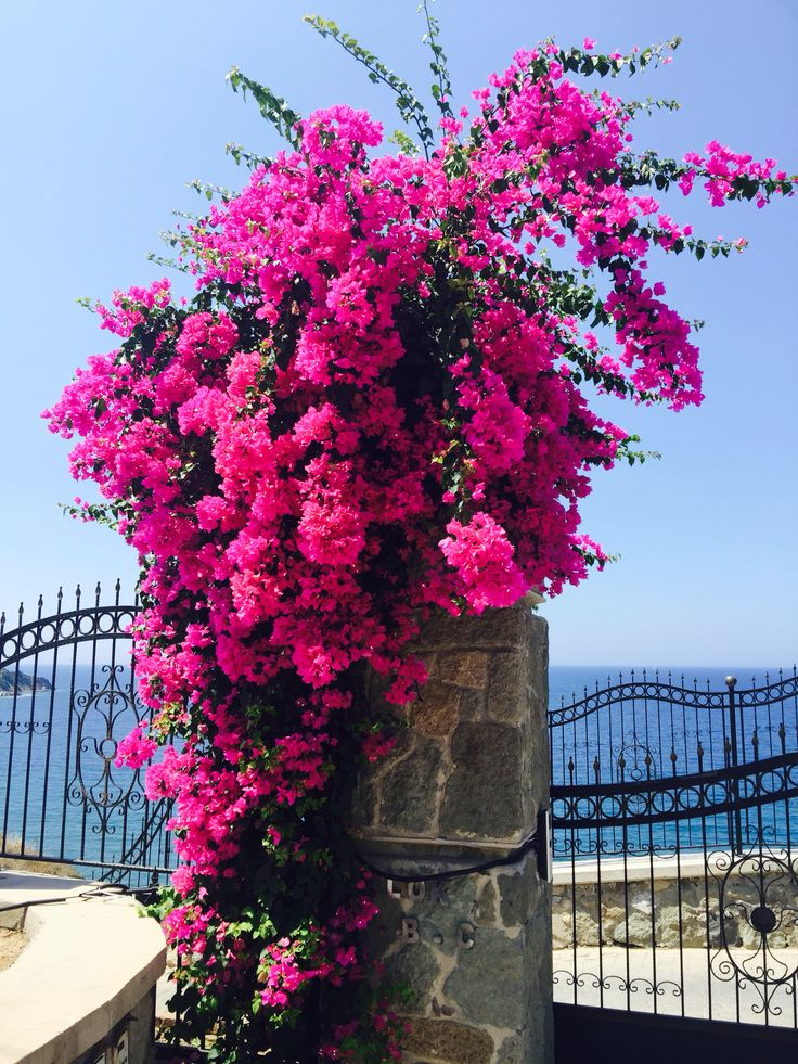 Best 20 bougainvillea ideas on pinterest bougainvillea colors bougainvillea tree and greek - Flowers native to greece a sea of color ...