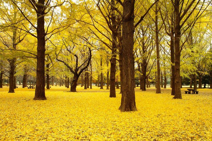 Autumn in Yoyogi Park, Tokyo.  I've been here!!!!!!!!!!!!!!!!!!!!!!!!!!!!!!!!!
