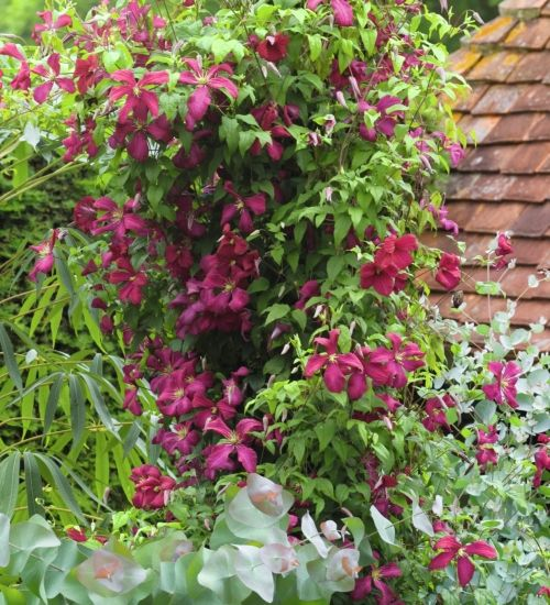 Like all viticella clematis, this is a slender, deciduous climber, perfect shimmying up posts and through shrubs and trees - a very reliable and free flowering cultivar. Suitable for containers.