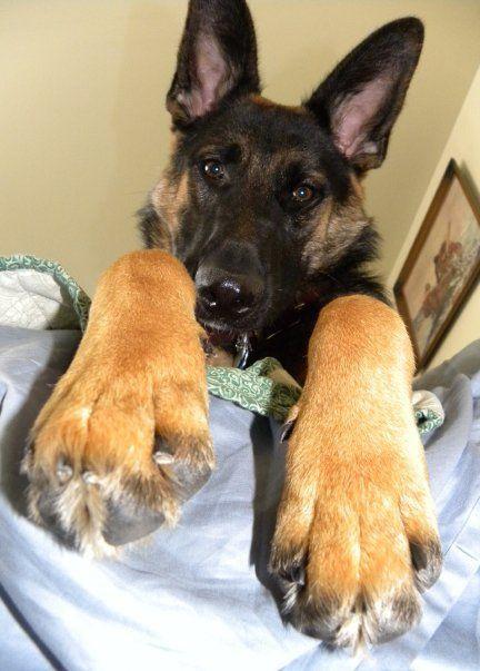 German Shepherd yep that's the giant paws my sweet pup had ...