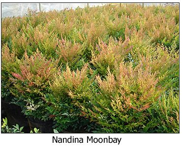 Plant selection: Nandina Moonbay - this plant picks up on the same colours as the maple trees