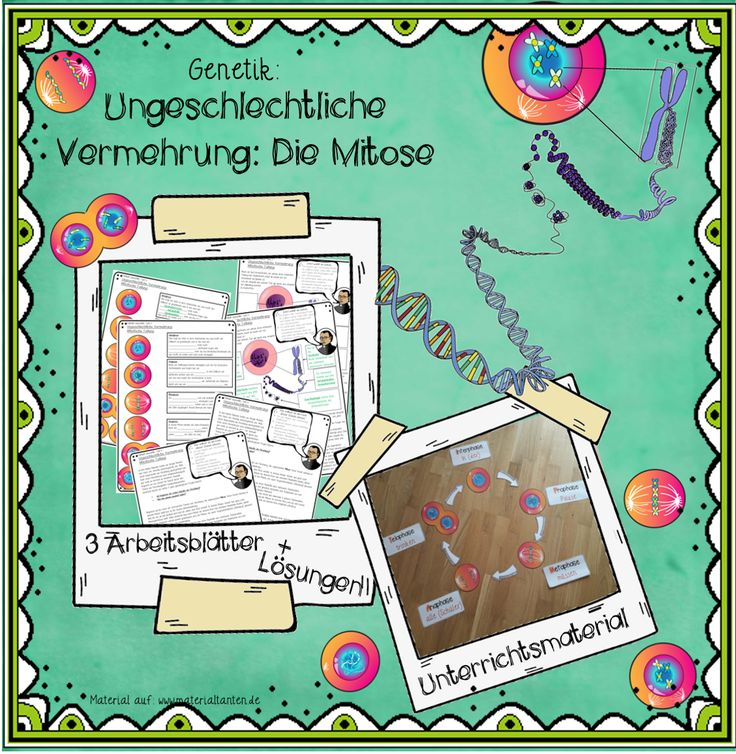 Unterricht zur Genetik / Ungeschlechliche Vermehrung / Mitose. Jetzt auf: www.materialtanten.de