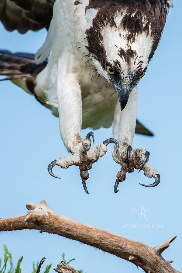 Signaler aux administrateurs 799727d41d046e9c6af8535bf43ed3d5--flying-birds-birds-of-prey