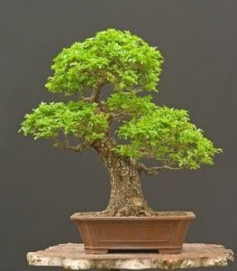 Chinese Elm Bonsai Kit  Your Own Bonsai Seeds/Pots/Soil/Instruction