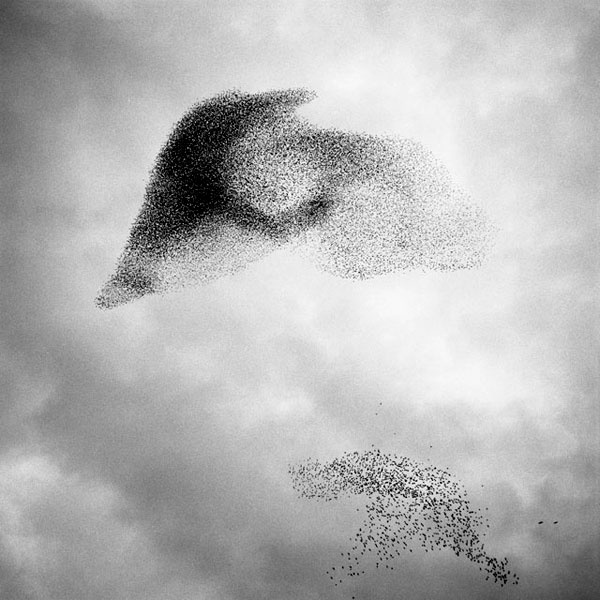 Murmuration: 30 Best Images About Birds-MURMURATION On Pinterest