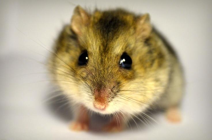 Siberian hamster, Morphius.