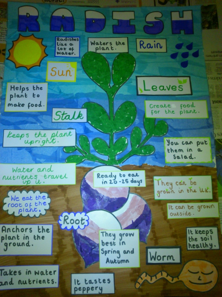 labelled picture of a radish plant the children create. Black Bedroom Furniture Sets. Home Design Ideas