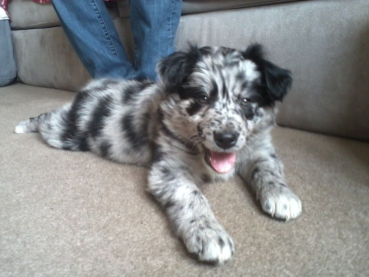Australian Shepard Border Collie Mix