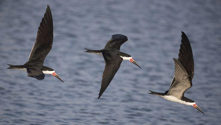 Black winged skimmers. - Black winged skimmers in Paracas, Peru.