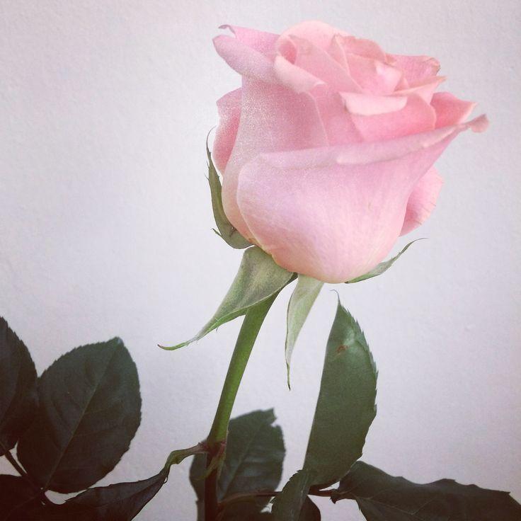 Rose. #littleprince #rose #lovelove #flower