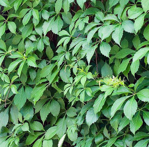 snabbväxande träd insynsskydd
