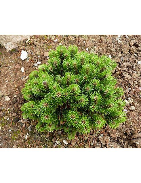Сосна горная Бенджамин  Форма кроны: плоскошаровидная плотная от 0,5м до 1м высотой. Скорость роста: медленнорастущий, 3 - 5см в год. Цвет хвои: хвоя короткая, жесткая, блестящая, темно-зеленая Предпочитает солнечные места. Почва: не требователен, растет на любых хорошо дренированных почвах, от кислых до щелочных. Температура: морозостойкий. Климатическая зона: 4