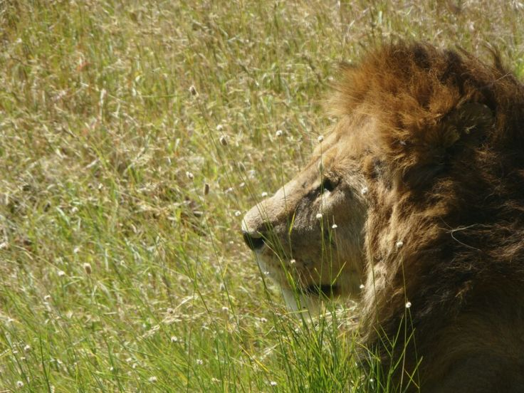 King of the Serengeti, Tanzania