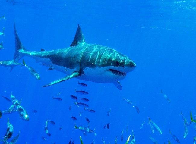 Pictures of Sharks - 42 Pics