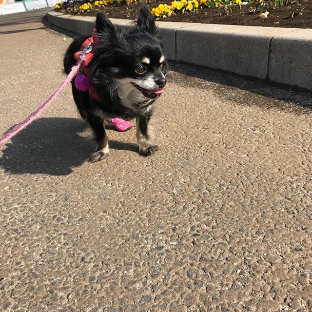 後ろ足が麻痺してて😭 腎臓の数値が落ち着いてきたので明日は外科の動物病院に行ってきます🏥  痛そうにしていてとても不憫で... 治療費用や検査費用が膨大な金額でどうしよう😥って思うけど、頑張らないと💪🏻 #chihuahua #まろまゆ#ブラタンチワワ #闘病中 #愛犬#わんこ