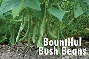 Bountiful Bush Beans - delicious short season bush bean