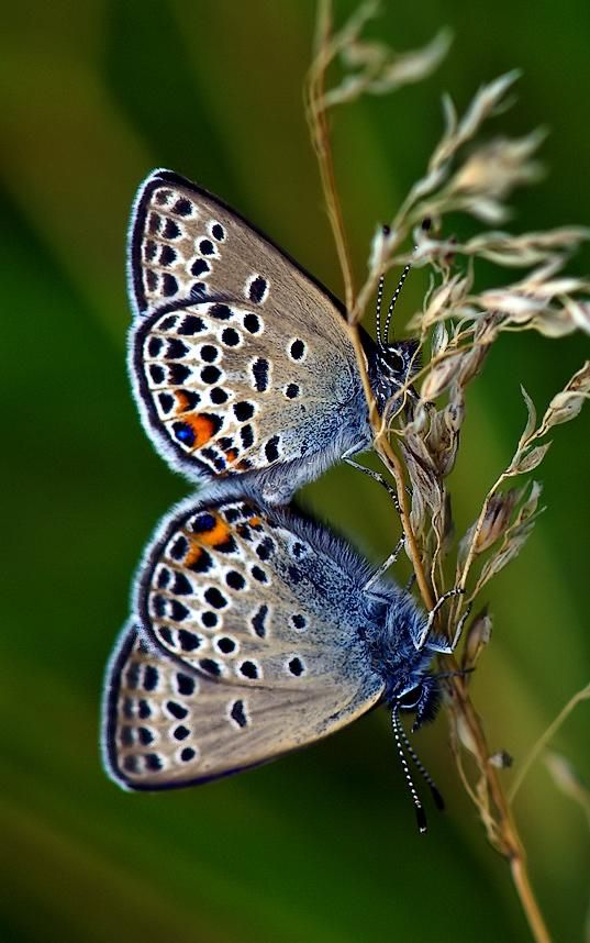 Borboletas, e ainda azuis, sim são a minha maior admiração :)
