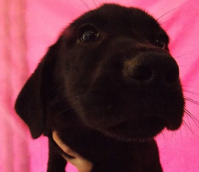 Cain is a male, lab mix puppy who is available for adoption NOW! ID# 17-D1042\r\n