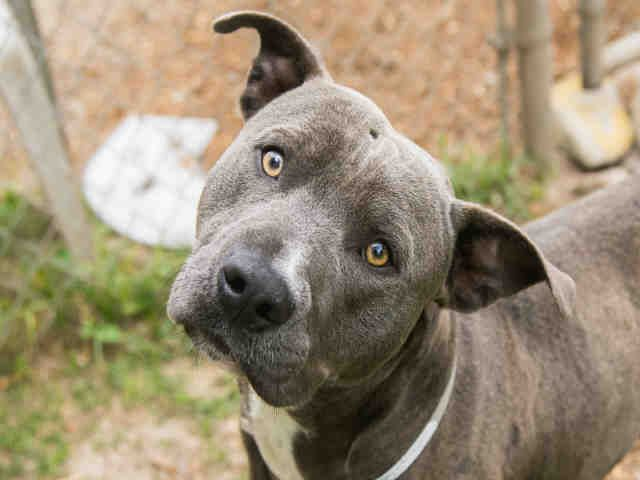 TITAN - ID#A1311167 - located at BARC Animal Shelter in Houston, Texas -