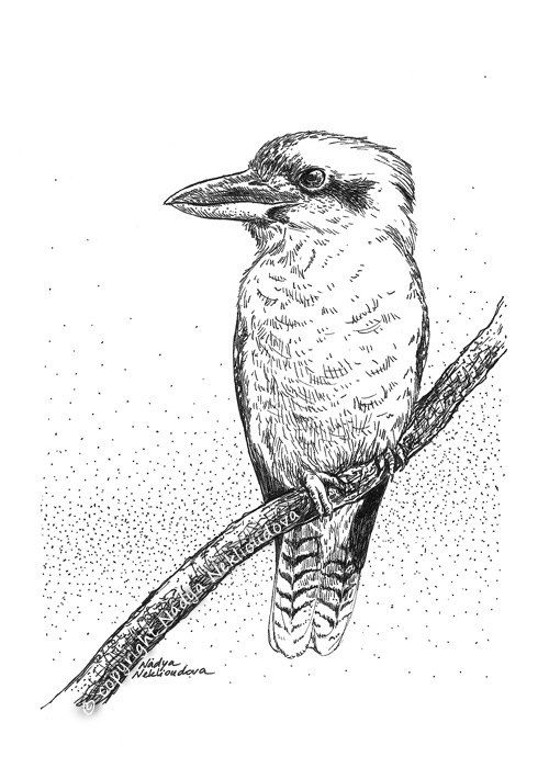 Kookaburra sketch original drawing 5x7 inches (12x18cm) pen and ink, natural history, original art via Etsy