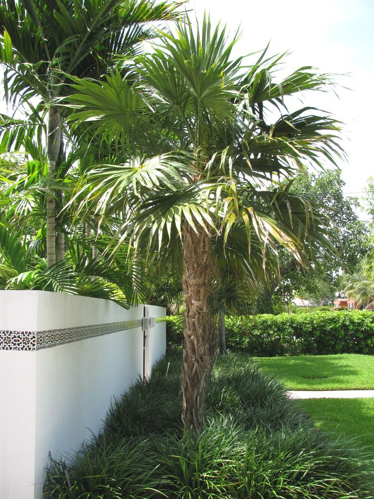 Thrinax Morrisii Key Thatch Palm Backyard Landscaping